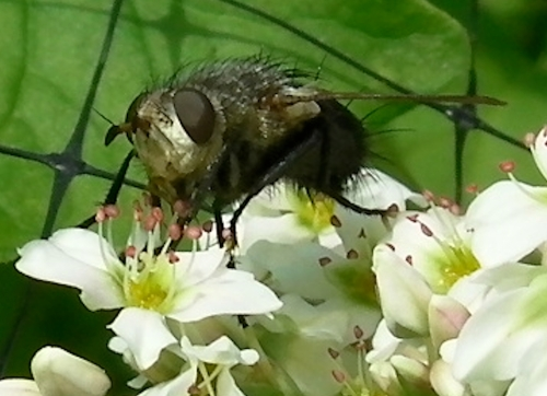 A fly mimicing a bee on the buckwheat blossom.