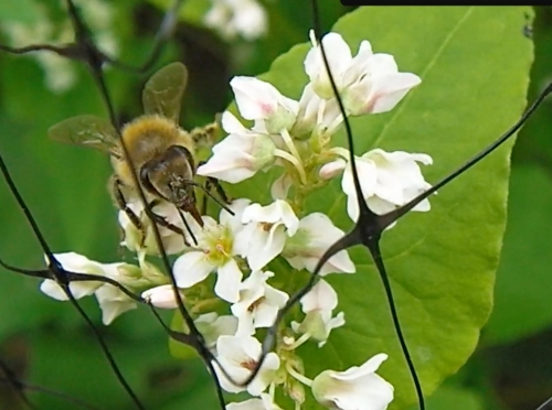 Sept. 9, 2012...Honeybees attending to the buckwheat blossoms.