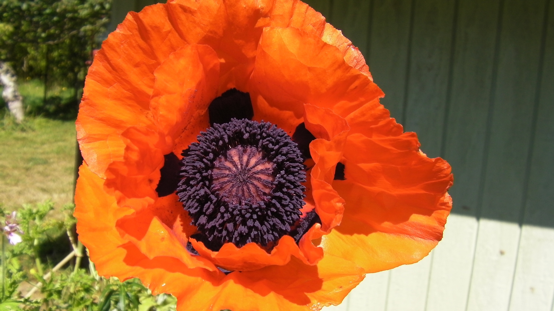 Bees Buzzing in Poppy Pollination | Adventures in Natural Beekeeping