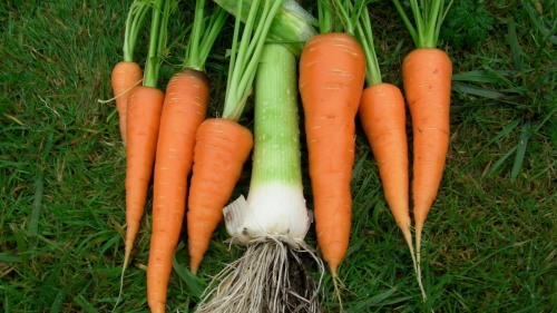 Healthy carrots and leeks