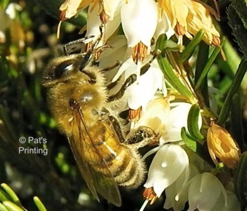 Bee on heather, 2-14-13, right up the street from Tom and Karen's house.