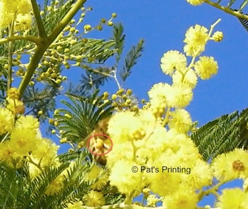 Bee on acacia, 2-15-13...Shigeo showed me this place to get some video.  By the time we got to it, the bees were returning to home so I only got a short clip of it.
