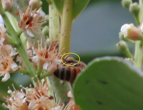 Bee on laurel, tannish-colored pollen