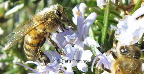 Bees on rosemary, at City Hall, February 8, 2013