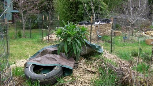 Echium for 2013...I'm hoping this plant will shoot up 10 feet (3 m) starting about April or May.
