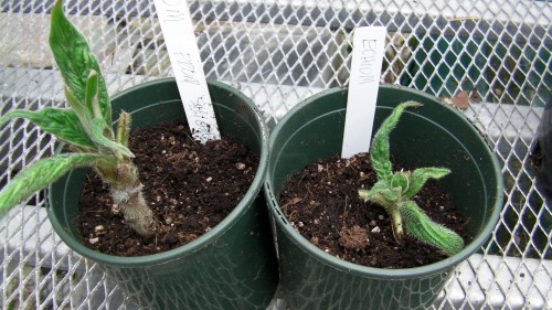 These are the plants that Shigeo demonstrated in the video, how to transplant.  They are my hope for 2014