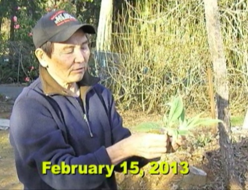 Shigeo shows how to transplant an Echium Tree.