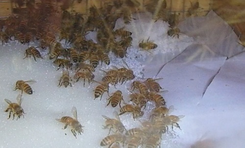 February 17, 2013  Bees feeding on new sugar above brood box