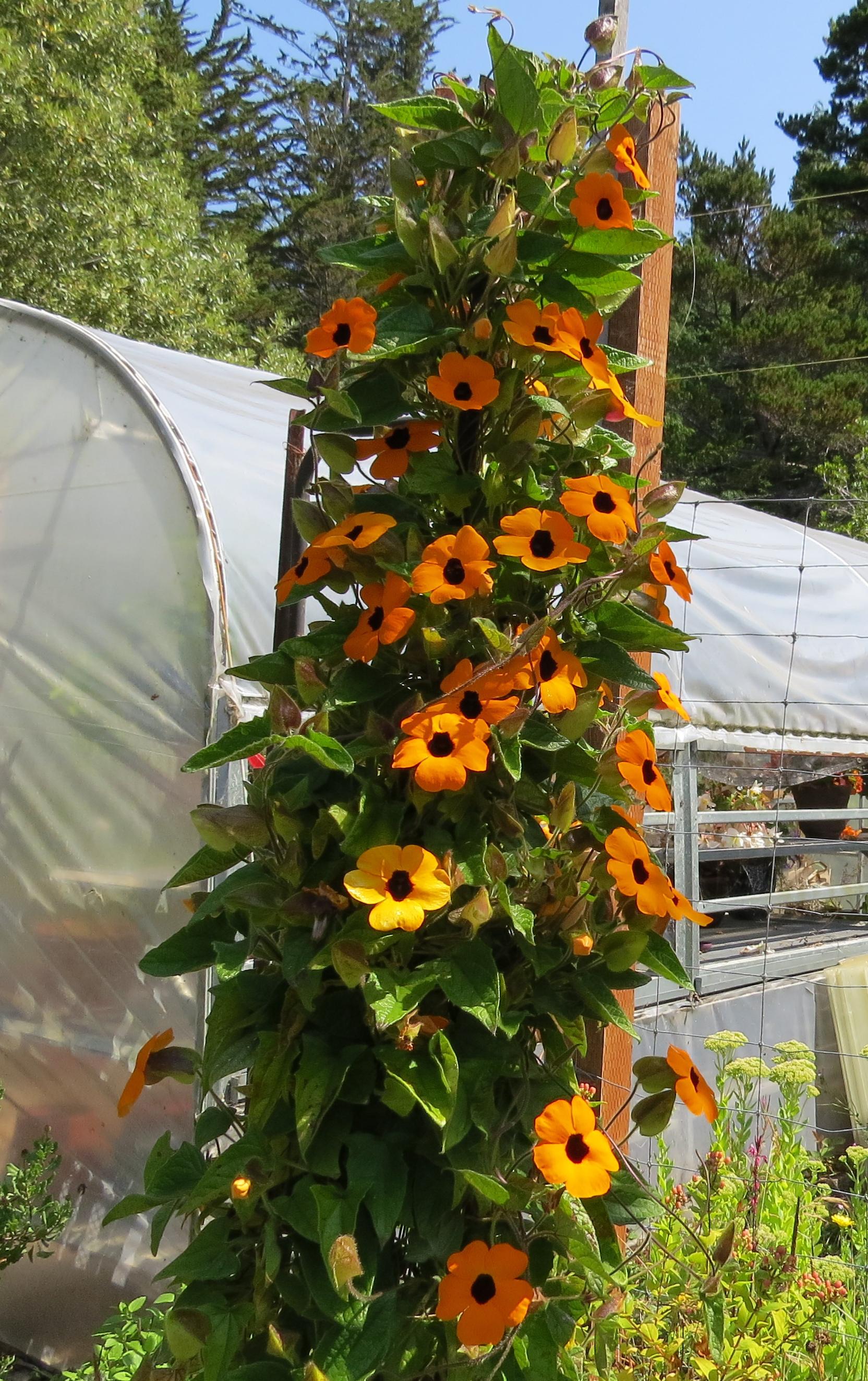 Black Eyed Susan Vine Adventures In Natural Beekeeping