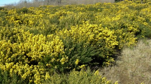 Gorse growing in city limits