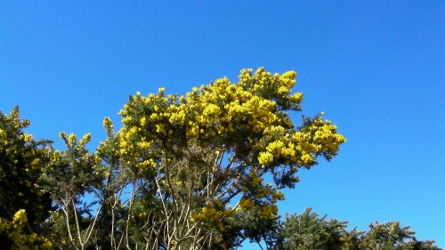 Gorse can grow tall