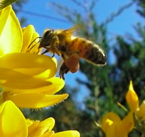 Honey bee on gorse growing up the road from me.