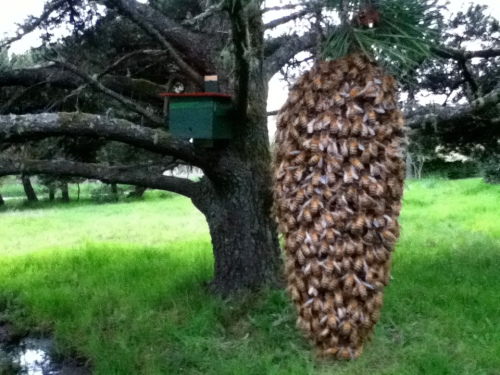 Because of the angle the picture was taken, this swarm looks bigger than it is.  Tree hive in background.