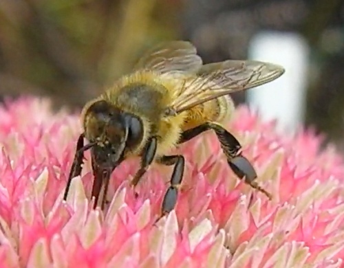 A bee sipping nectar on Autumn Beauty sedum
