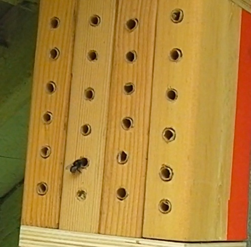 Mason bee entering straw tube in wood block