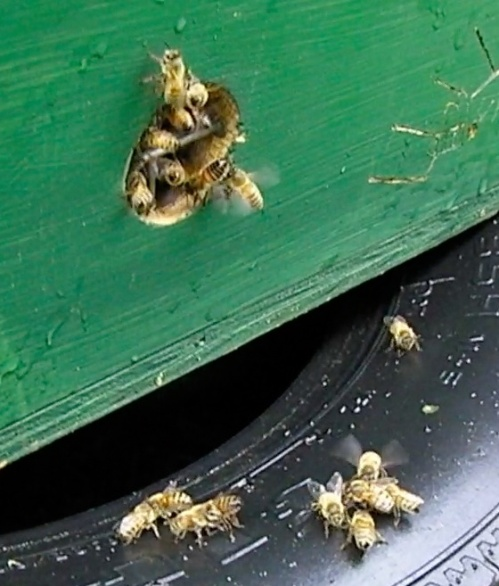 """Hey everyone, the queen is over here in the box.""  (The bees are fanning the pheramone.)"