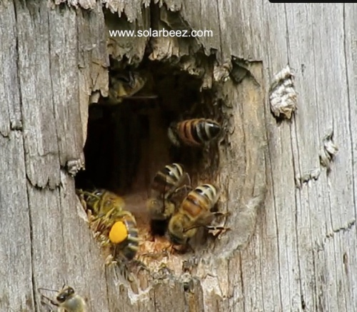 It didn't take long for the bees to set up home. They  swarmed INTO this log, April 18.