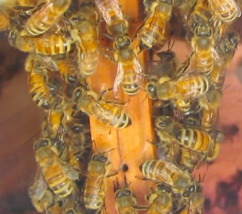 At 11-05 am, bees are crawling up t-post ladders already.