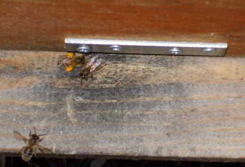 January 26, 2014...a bee with orange pollen entering hive.  Does that indicate the queen has started to lay?