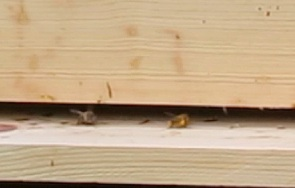 Pollen-packing bees after a long rainy spell, 5-31-13