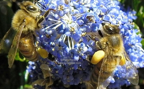 June 3, 2013...bees on the Ceanothus (California Lilac) at Amy's house.  Everyday we walk past her house anticipating this bloom.  It finally happened.