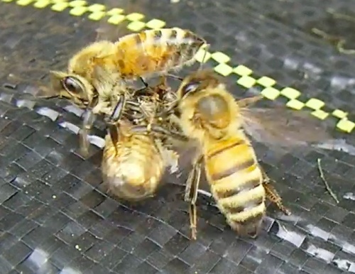 Two bees evicting one with Deformed Wing Virus