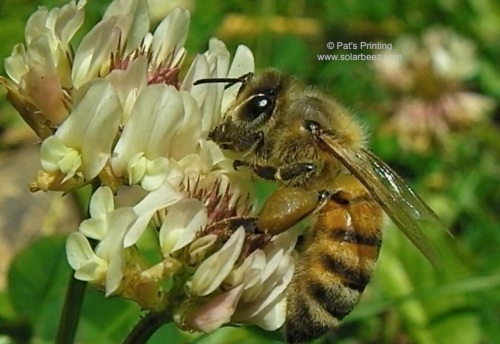 """If you have clover in your yard, you have a ready excuse NOT to mow the lawn...""""I'm just helping out the bees!"""""""