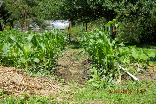 July 6, 2013...I'm trying a new compost tea.  It's made from soaking comfrey for three weeks.  I've added it to the right row of corn only for comparison.