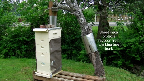 "I had noticed the sheet metal wrapped around Hal's plum tree every time we looked at his bee hives.  One day I asked about it.  ""It's to prevent the raccoons from getting a foot hold on the plum tree."""