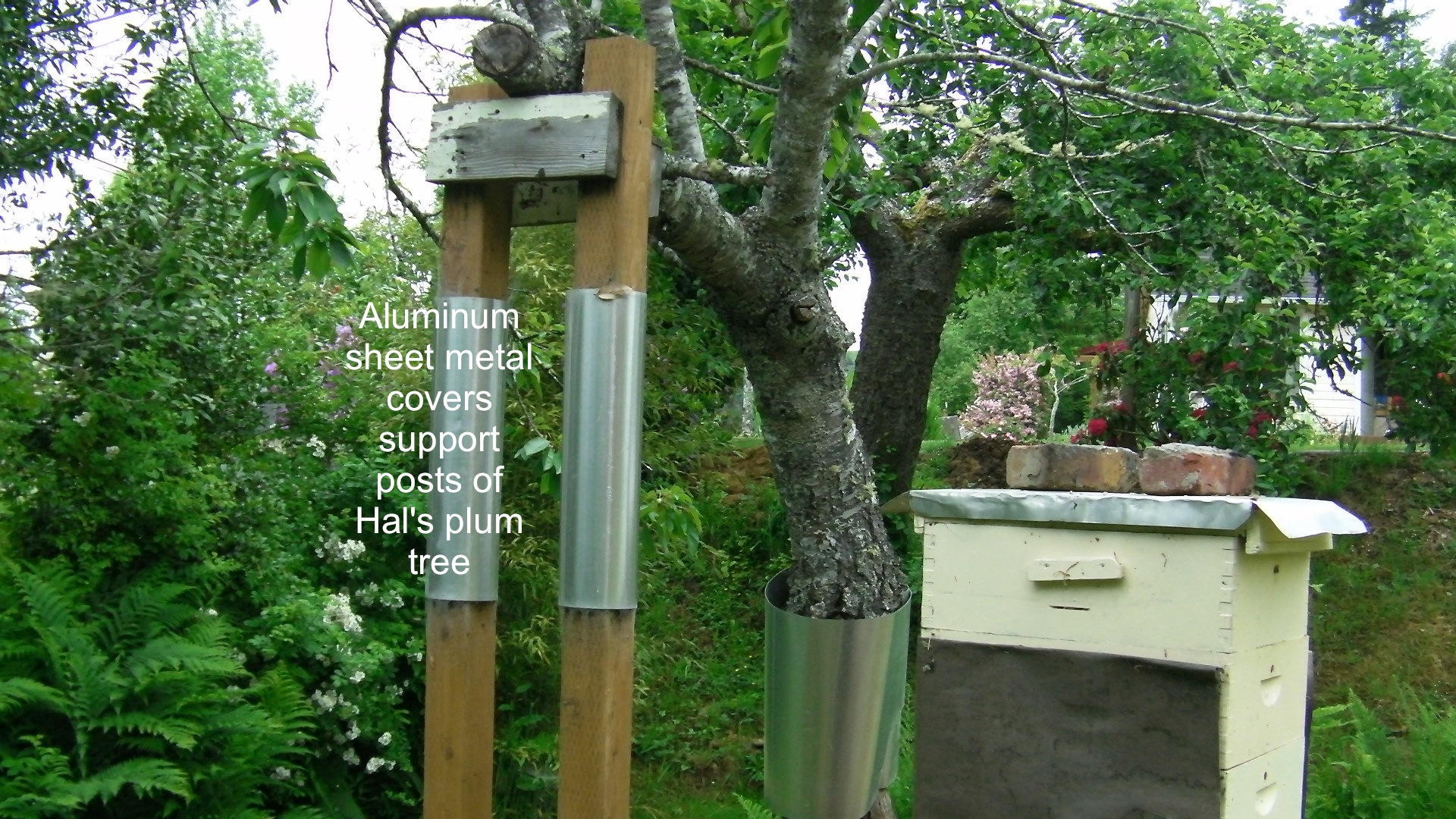 Tree Trunk Protector >> Raccoon protection on plum tree | Adventures in Natural ...