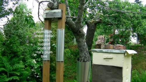 Hal's plum tree supports protected with sheet metal.