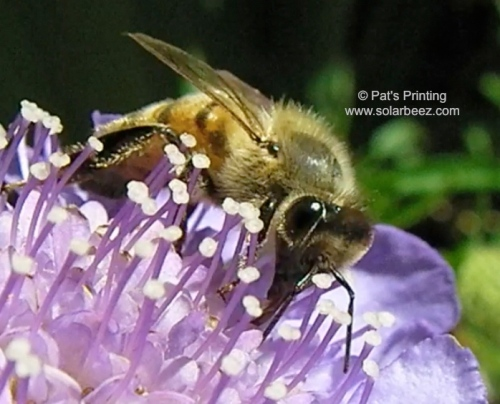 June 8, 3-13...Scabiosa, (Pin cushion flower) is a great bee-loving flower.  It fits in the home garden well, is easy to grow, and you'll never get tired of watching the bees get nectar from it.