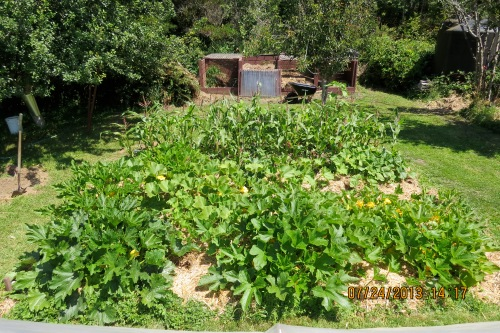 July 24, 2013...Squash and corn bed, almost ready to harvest some.