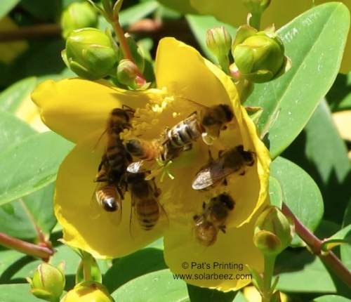 "June 8, 2013  I feel like it ought to be stitched on my belt...""Seven bees on one blossom."""
