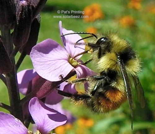 June 11, 2013  The Wallflowers attract many different kinds of wild pollinators, including this bumblebee.