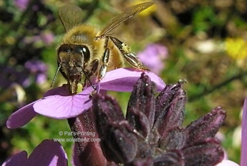 Wallflower, (Erysimum) blooms all summer...and the Bumblebee, honeybees, and butterflies can be seen sipping nectar.