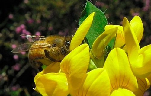 The flower provides the nectar to attract the bee.  The bee lands on the flower, pulls the petals apart to reveal the pistil.  The flower shoots out pollen which the bee carries away.