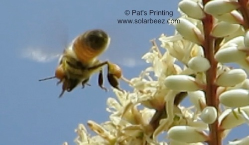 June 11, 2013...A bee with pollen baskets full heads back to the hive from the yucca tree.