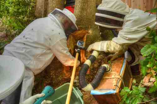 Removing bees with Shigeo's bee vacuum.