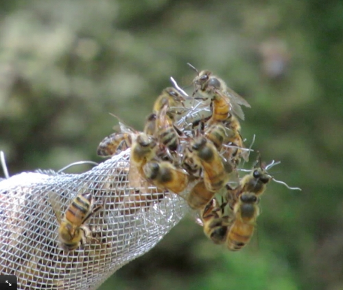 Bees are leaving through the one-way exit