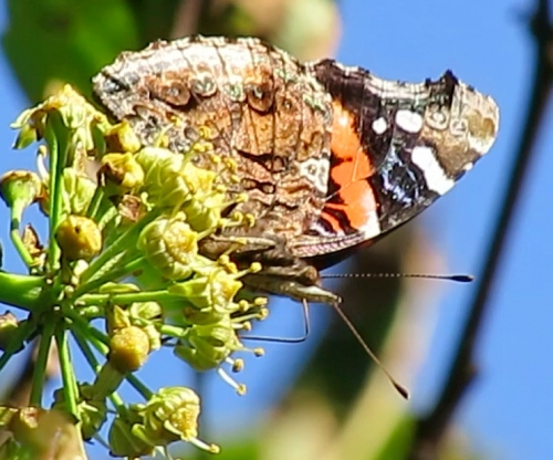 Mid October...An American Painted Lady (I think)