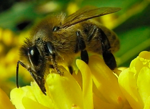 November 24th...This honeybee is getting nectar from an early blooming Oregon Grape Holly