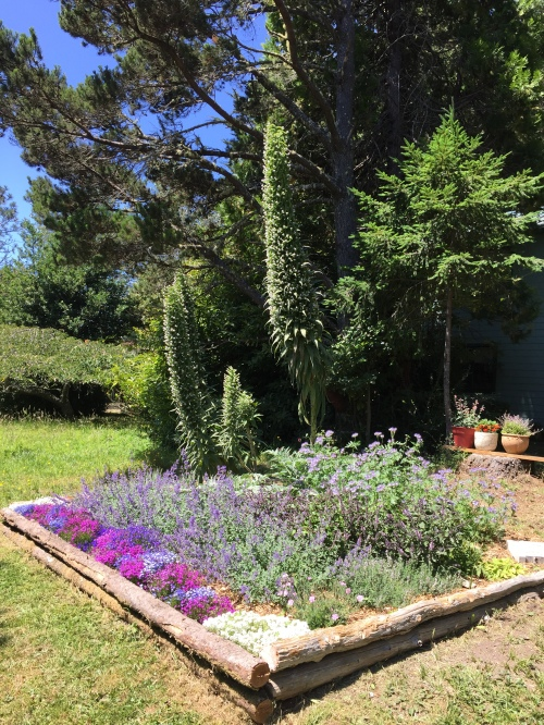 July 14, 2015...In the spring, we enlarged this bed and planted some bee-loving plants along with the echium.