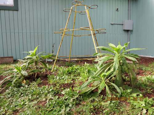 Feb. 5, 2014...These four echium are more slightly more protected.  They were put here as a back up (Plan Bee)
