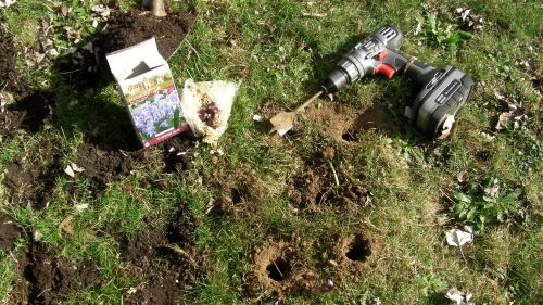 The cordless drill worked well.  I planted 50 bulbs hoping it would be enough to get videos of bees carrying blue pollen in March.