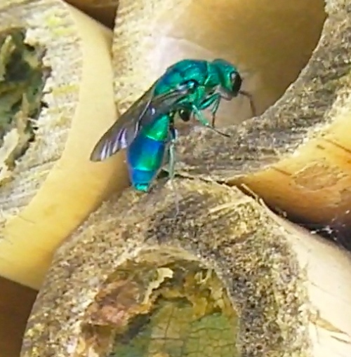 While I was waiting for a solitary bee, this insect strolled in.  it's either a cuckoo wasp or a Blue-green sweat bee.