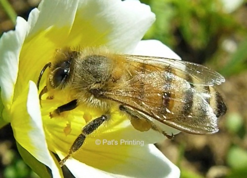 Last year in June, before the deer discovered it, the bees were on the Meadowfoam everyday.