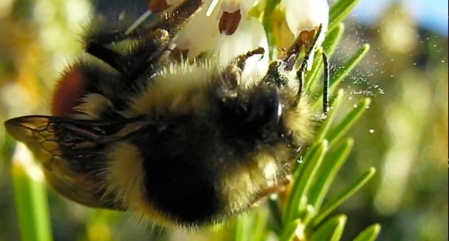 Here you can see the pollen release.  When the bee gets the nectar, the pollen shoots out.