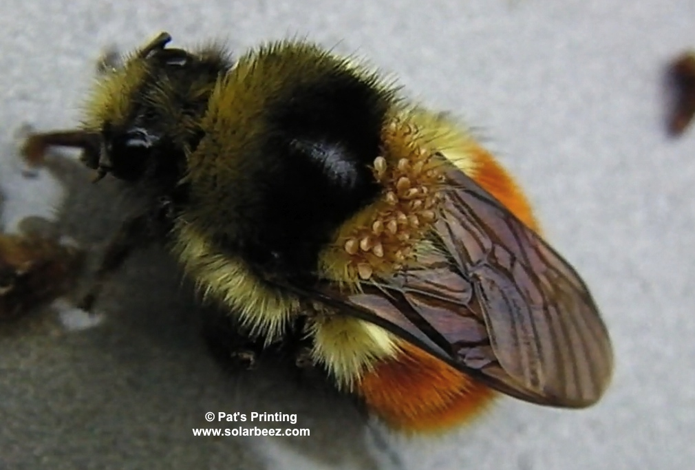Frequently asked questions about the bumblebee body