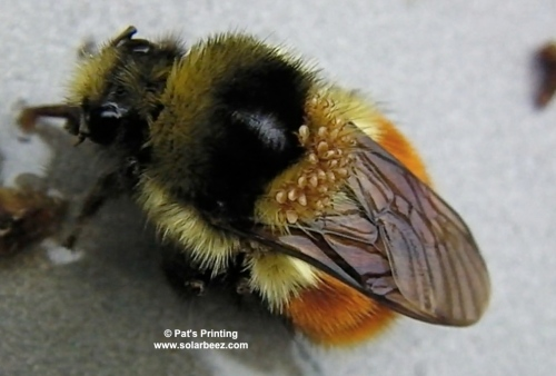 February 13, 2014...This bumble bee (bombus Melanopygus, I believe) was sipping honey when we noticed all the mites on her back.